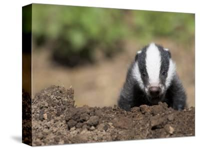 Badger Cub, Meles Meles, Captive, United Kingdom