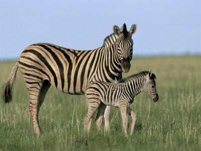Burchell's (Plains) Zebra and Newborn Foal (Equus Burchelli), Etosha National Park, Namibia, Africa