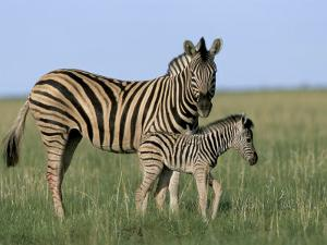 Burchell's (Plains) Zebra and Newborn Foal (Equus Burchelli), Etosha National Park, Namibia, Africa by Steve & Ann Toon