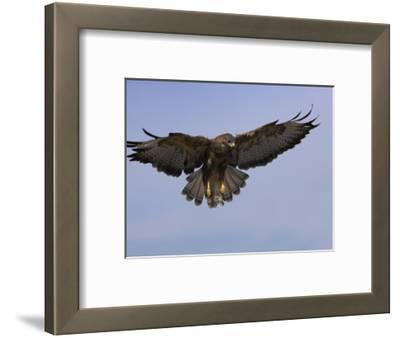 Buzzard (Buteo Buteo), Flying, Captive, Cumbria, England, United Kingdom