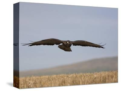 Buzzard (Buteo Buteo), Flying Over Farmland, Captive, Cumbria, England, United Kingdom