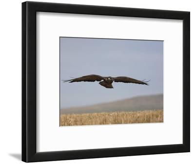 Buzzard (Buteo Buteo), Flying Over Farmland, Captive, Cumbria, England, United Kingdom