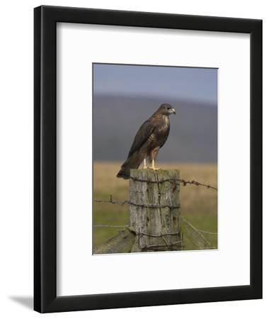 Bzzard (Buteo Buteo) on Fence Post, Captive, Cumbria, England, United Kingdom