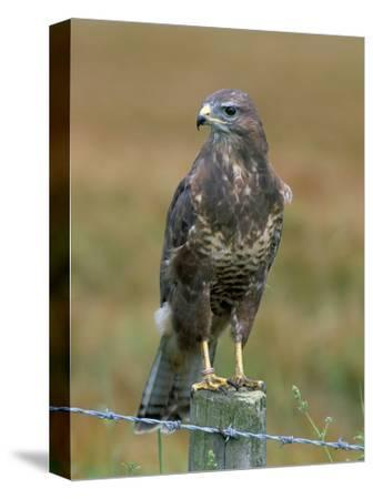 Captive Buzzard (Buteo Buteo), United Kingdom