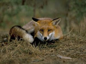 Captive Red Fox (Vulpes Vulpes), United Kingdom by Steve & Ann Toon