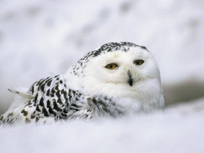 Captive Snowy Owl (Nictea Scandiaca)