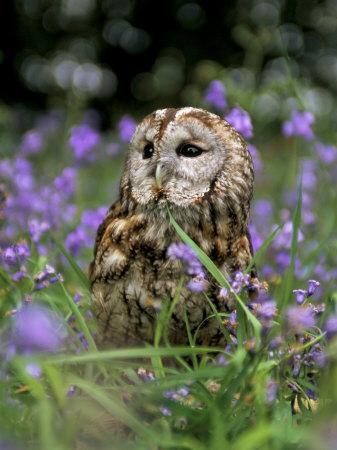 Captive Tawny Owl (Strix Aluco) in Bluebells, United Kingdom