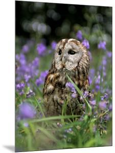 Captive Tawny Owl (Strix Aluco) in Bluebells, United Kingdom by Steve & Ann Toon