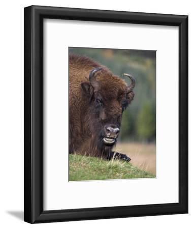 European Bison, Captive at Highland Wildlife Park, Kingussie, Scotland, United Kingdom