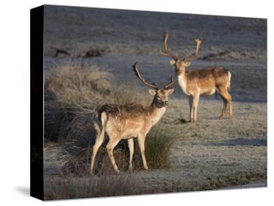 Fallow Deer Bucks, Dama Dama, Dallam Estate, Cumbria, England, United Kingdom