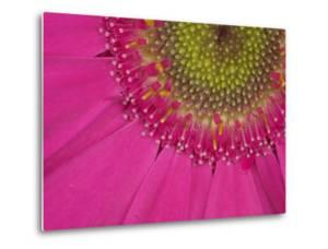 Gerbera, Shocking Pink, United Kingdom by Steve & Ann Toon