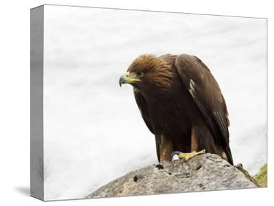 Golden Eagle, Aquila Chrysaetos, in Snow, Captive, United Kingdom