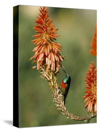 Greater Doublecollared Sunbird (Nectarinia Afra), Giant's Castle, South Africa, Africa
