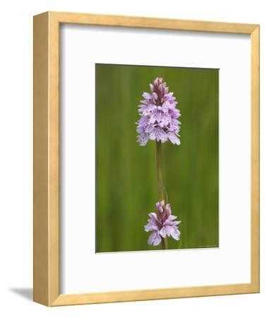 Heath Spotted Orchid (Dactylorhiza Maculata), Grasspoint, Mull, Inner Hebrides, Scotland