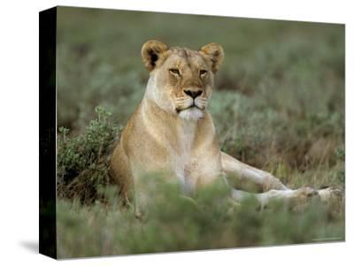 Lioness (Panthera Leo), Etosha, Namibia, Africa