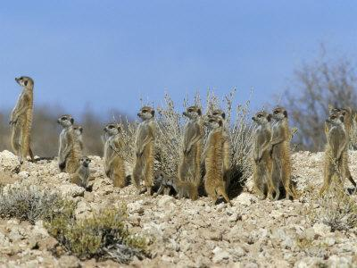 Meerkats (Suricates) (Suricata Suricatta), Kalahari Gemsbok Park, South Africa, Africa