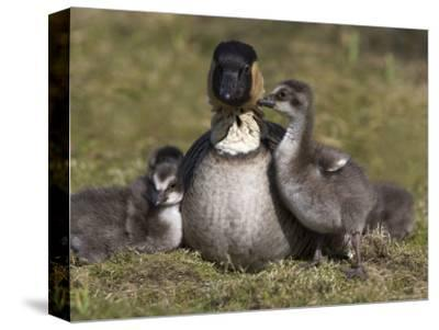 Nene, Branta Sandvicensis, Hawaiian Goose with Goslings, Burscough