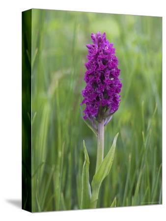 Northern Marsh Orchid (Dactylorhiza Purpurella), Craignure, Mull, Inner Hebrides, Scotland