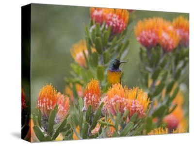 Orange-Breasted Sunbird, Anthobaphes Violacea, Kirstenbosch Botanical Garden, Cape Town