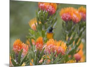 Orange-Breasted Sunbird, Anthobaphes Violacea, Kirstenbosch Botanical Garden, Cape Town by Steve & Ann Toon