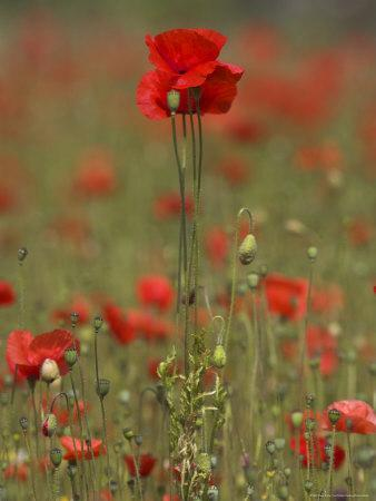 Poppies, Papaver Rhoeas, United Kingdom