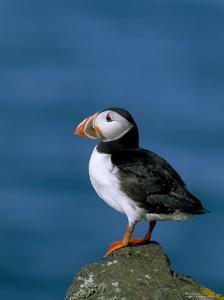 Puffin (Fratercula Arctica), Skomer Island, Pembrokeshire, Wales, United Kingdom by Steve & Ann Toon