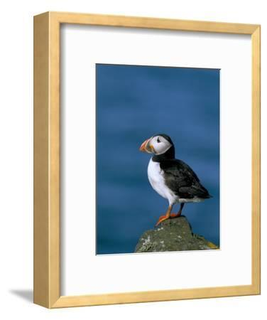 Puffin (Fratercula Arctica), Skomer Island, Pembrokeshire, Wales, United Kingdom