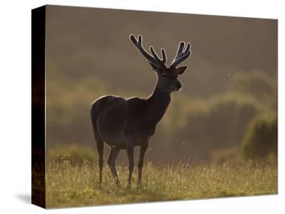 Red Deer (Cervus Elaphus), Stag in Velvet, Grasspoint, Mull, Inner Hebrides, Scotland