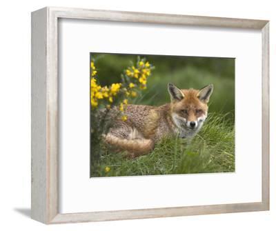 Red Fox, Vulpes Vulpes, Captive, United Kingdom