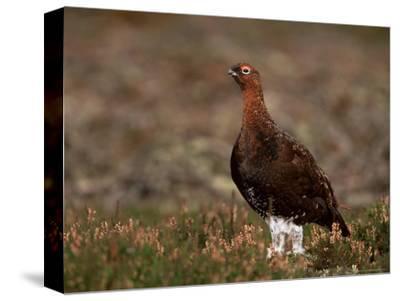 Red Grouse (Lagopus Lagopus), North Yorkshire, Yorkshire, England, United Kingdom