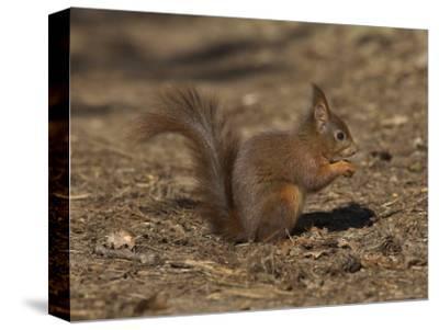 Red Squirrel, Sciurus Vulgaris, Formby, Liverpool, England, United Kingdom