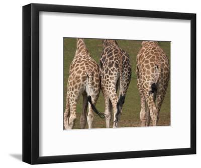 Rothschild's Giraffes (Giraffa Camelopardalis Rothschildi,) Skin, Captive, Native to East Africa