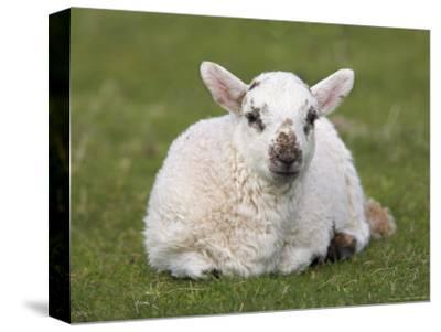 Spring Lamb, Scotland, United Kingdom