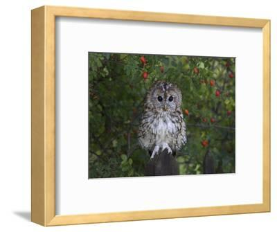 Tawny Owl (Strix Aluco), on Gate with Rosehips, Captive, Cumbria, England, United Kingdom