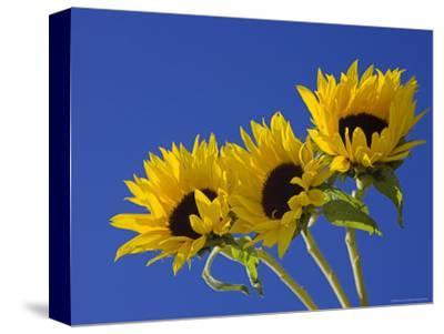 Three Sunflowers Blooms, Helianthus Annuus, United Kingdom