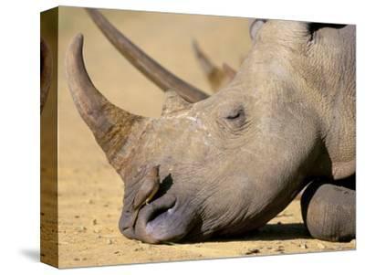 White Rhino (Ceratotherium Simum), Hluhluwe Game Reserve, Kwazulu Natal, South Africa, Africa