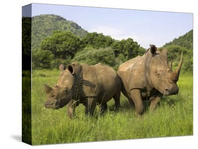 White Rhino, with Calf in Pilanesberg Game Reserve, South Africa
