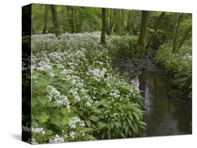 Wild Garlic, or Ramson, Allium Ursinum, Lancashire, England, United Kingdom