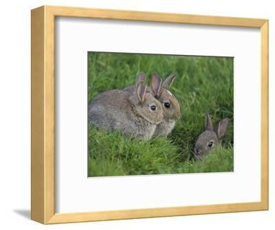 Young Rabbits (Oryctolagus Cuniculas), Outside Burrow, Teesdale, County Durham, England