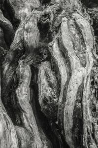 Kalaloch Big Cedar 2, Olympic National Park by Steve Bisig