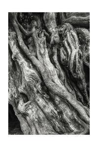 Kalaloch Big Cedar 3, Olympic National Park by Steve Bisig