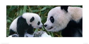 Panda Bear with Cub by Steve Bloom