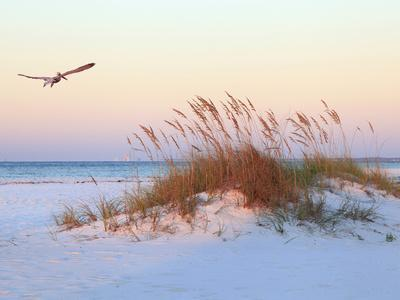 A Brown Pelican Flies over a White Sand Florida Beach at Sunrise