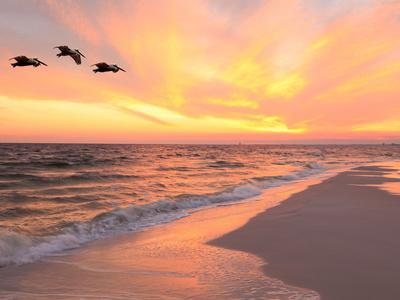 Brown Pelicans Flying in Formation at Sunset on Florida Beach
