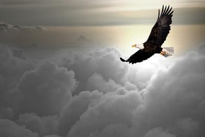 Art print POSTER Bald Eagle Portrait 2