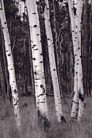 Aspen Forest Arizona BW