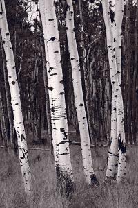 Aspen Forest Arizona BW by Steve Gadomski