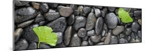 Black Stones And Ginko Leaves Panorama by Steve Gadomski
