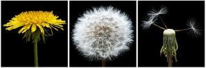 Dandelion Life Cycle by Steve Gadomski