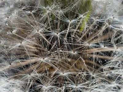 Dandelion Seeds Abstract